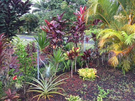 garden with pineapple